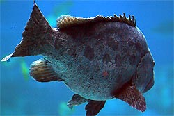 pacific goliath grouper  ... : The Giant