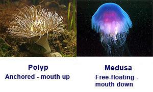 Cnidarians polyps can reproduce asexually by