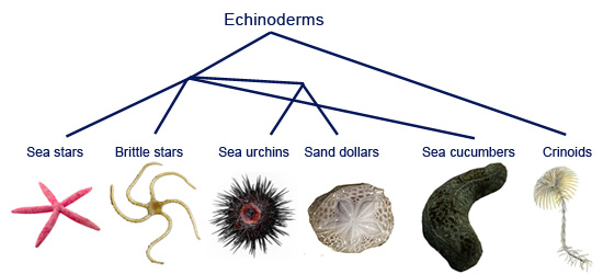 Echinoderm asexual reproduction worksheets