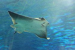 Fish for Cartilaginous fish examples