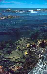 Photo of kelps along southern Australian shores