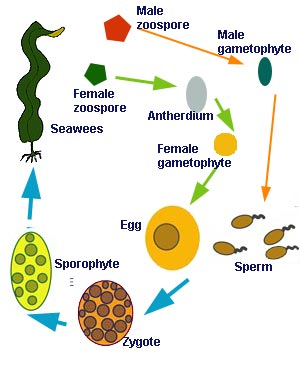 Phaeophyta asexual reproduction definition