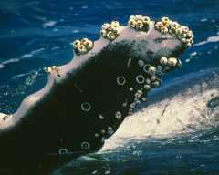 the relationship between a gray whale and barnacle is an example of