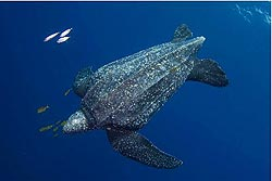Leatherback sea turtle pictures in the water - photo#21